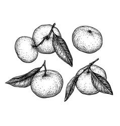 ink sketch of mandarin orange vector image