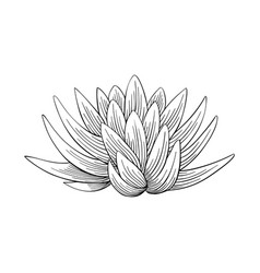 Lotus lily water vector