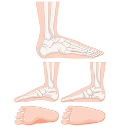 Set of human foot bone vector