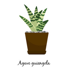 Agave guiengola cactus in pot vector