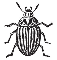 Colorado potato beetle vintage vector