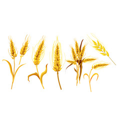set isolated ear spica or wheat spikes vector image