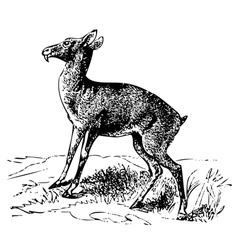 Siberian musk deer engraving vector image