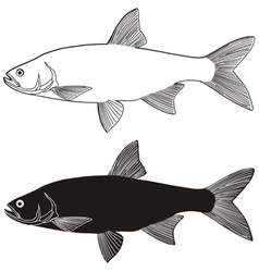 freshwater fish vector image vector image