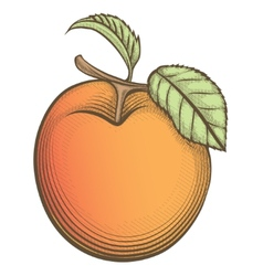 Engraving apricot in vintage style vector