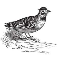 Horned lark vintage engraving vector