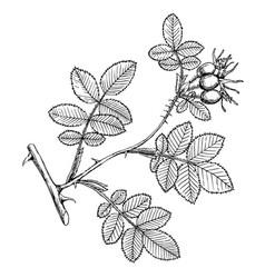 rosa rubicinosa vector image vector image