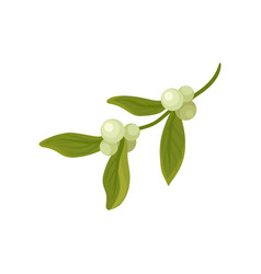 Mistletoe branch with small berries and leaves vector