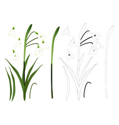 white snowdrop flower outline vector image