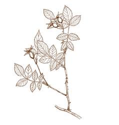 Rosa subafzeliana vector