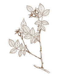 rosa subafzeliana vector image