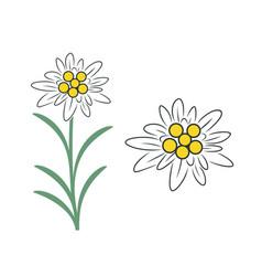 edelweiss flower vector image