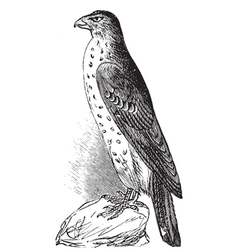 Coopers Hawk vintage engraving vector image vector image
