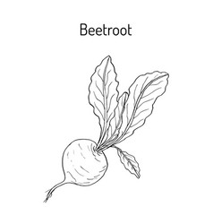 Beetroot with green leaves vector