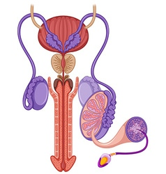 Reproductive system in male vector image