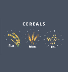 three kind cereals wheat isolated on dark vector image