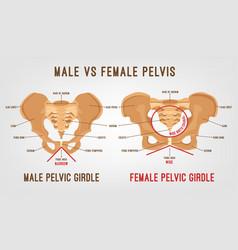 Female male pelvis vector
