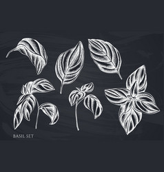 Set hand drawn chalk basil vector