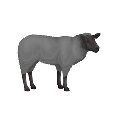 Flat icon of young sheep farm animal with vector