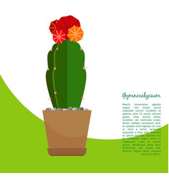 gymnocalycium indoor plant in pot banner vector image