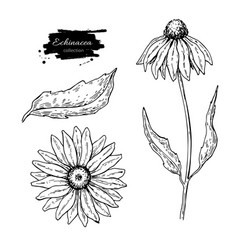 calendula drawing isolated medical flower vector image