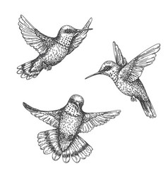 Flying hummingbirds sketch vector