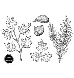 hand drawn sketch style cilantro rosemary vector image