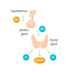 thyroid hormones vector image