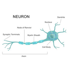 Human neuron structure nerve cell medical chart vector