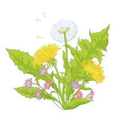 Flowers dandelions with leaves vector