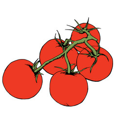 tomato drawing isolated tomatoes on branch vector image