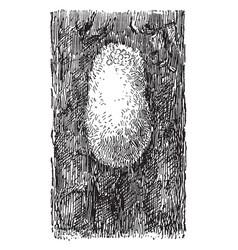 Egg cluster of gipsy moth vintage vector