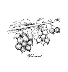 Hand drawn of ripe blackcurrants on white backgrou vector
