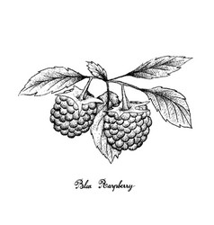 Hand drawn of blue raspberries on white background vector