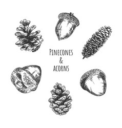 Pinecones and acorns forest fruits vector