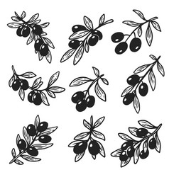 set of isolated hand drawn sketches of olive oil vector image