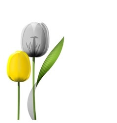 Yellow tulips isolated on white background vector image