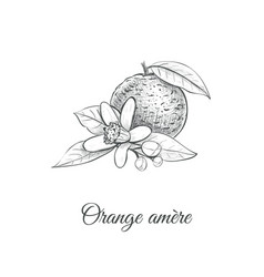 Orange amere bitter orange vector