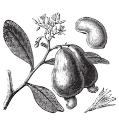 Occidental cashew engraving vector