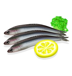 food anchovy vector image