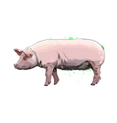 pig from a splash watercolor colored drawing vector image