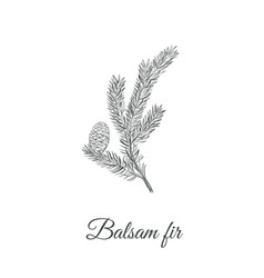 balsamic fir sketch hand drawing vector image