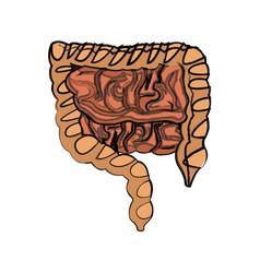 Human man body anatomy intestines vector