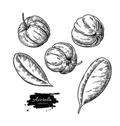acerola fruit drawing set barbados cherry vector image