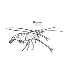 fresh live river shrimp hand draw sketch vector image