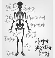 human skeleton bones vector image