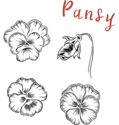 pansy flowers botanical vector image