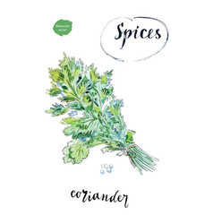 Watercolor fresh green coriander leaves vector