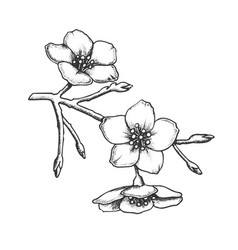Sakura national china blossom tree ink vector