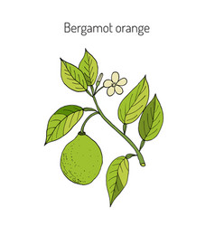 bergamot orange branch vector image